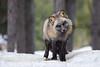 Cross Fox - Red Fox (Vulpes vulpes)