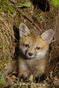 Red Fox Kit* (#8963)