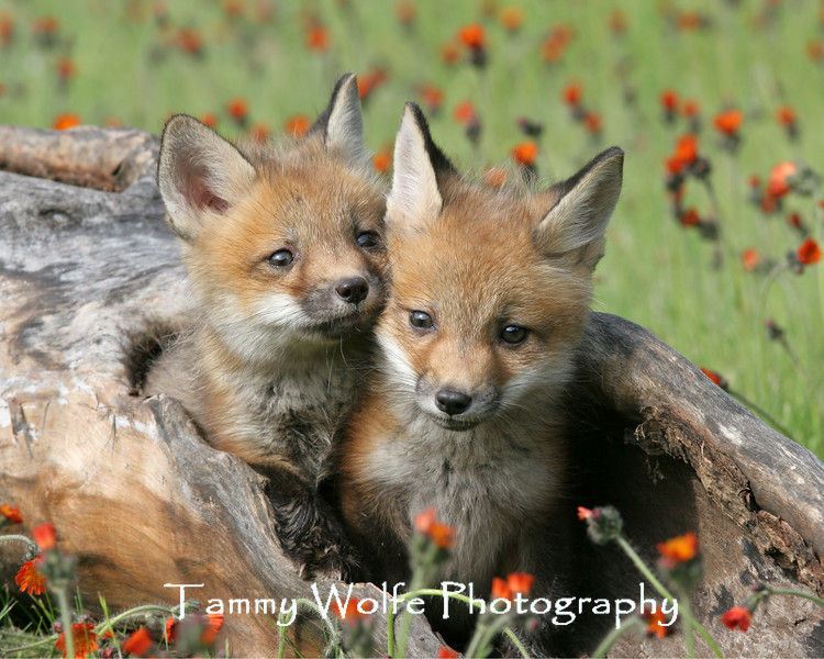 Red Fox*