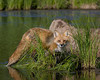 Red Fox* (#4104)