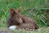 Brown Phase Red Fox Kit, San Juan Island, Washington State