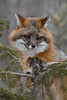 Gray Fox (Urocyon cinereoargenteus) in a tree*