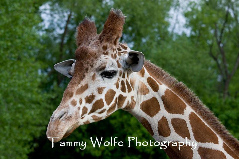 Reticulated Giraffe, Giraffa camelopardalis reticulata, Minnesota Zoo