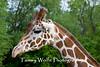 Reticulated Giraffe, Giraffa camelopardalis reticulata, Minnesota Zoo*