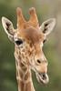 Reticulated Giraffe (Giraffa camelopardalis reticulata), Jacksonville Zoo*