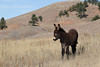 Burro (Equus asinus), Foal; Custer State Park