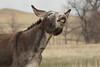 Burro (Equus asinus) Lip Curling, Custer State Park