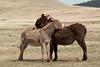 Burros (Equus asinus), Mutual Grooming, Custer State Park