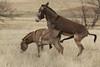 Burros (Equus asinus) Mating, Custer State Park