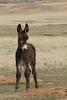 Burro (Equus asinus) Calf, Custer State Park