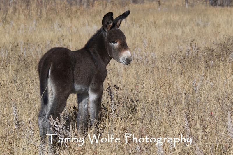 Burro (Equus asinus), Custer State Park