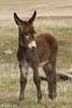 Burro (Equus asinus) Foal, Custer State Park