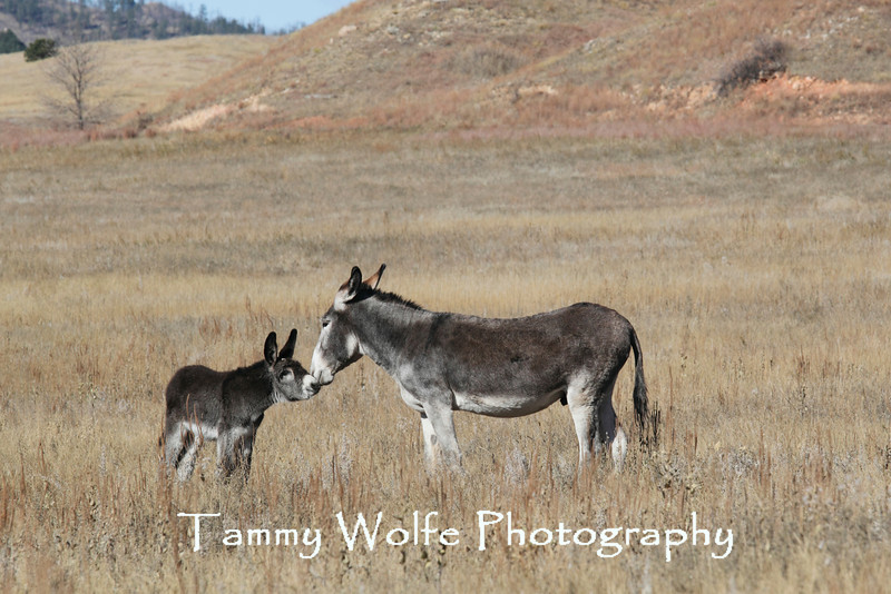 Burros (Equus asinus), Custer State Park, Foal Greeting the Jack
