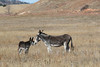Burros (Equus asinus), Custer State Park, Foal Greeting the Jack