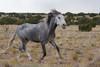 Feral (Wild) Horse, Placitas, New Mexico, Stallion Running