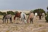 Feral (Wild) Horse, Placitas, New Mexico