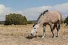Feral (Wild) Horse, Placitas, New Mexico, Stallion rounding up his mares