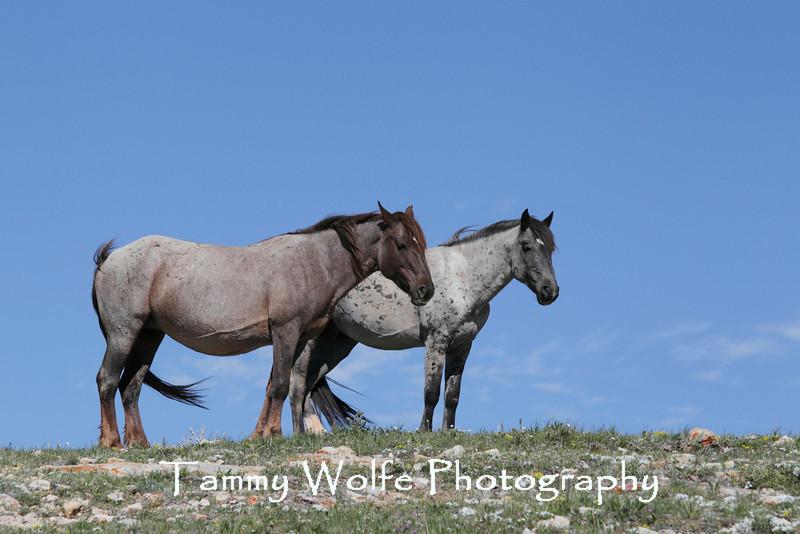 Wild Horses (Equus caballus), Pryor Mountains