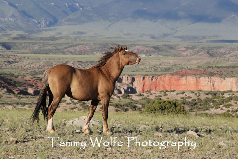 Wild Horse (Equus caballus), Pryor Mountains