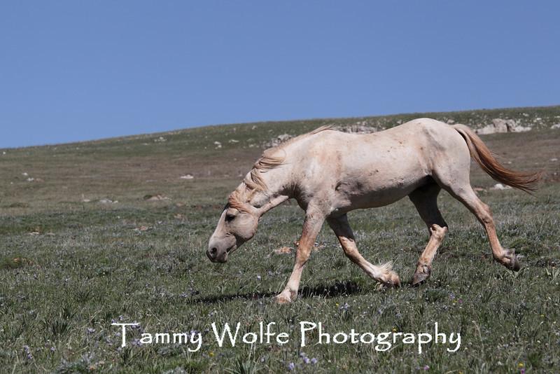 Wild Horse (Equus caballus) Snaking, Pryor Mountains