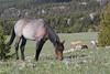 Wild Horse (Equus caballus), Pryor Mountains