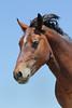 Wild Horse (Equus caballus) Portrait, Pryor Mountains