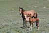 Wild Horse (Equus caballus), Mare with Foals, Pryor Mountains