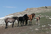 Wild Horses (Equus caballus), Pryor Mountains