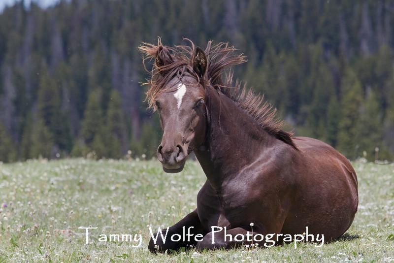 """Bad Hair Day"" Wild Horse (Equus caballus), Pryor Mountains"