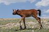 Wild Horse (Equus caballus) Foal, Pryor Mountains