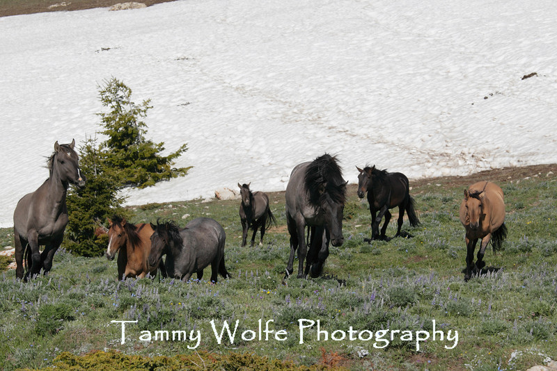 "Wild Horse (Equus caballus), Pryor Mountains ""Band on the Run"""