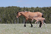 Wild Horse (Equus caballus), Mare with Foal; Pryor Mountains