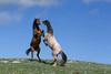 Wild Horses (Equus caballus), Fighting Stallions; Pryor Mountains
