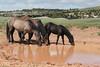 Wild Horses (Equus caballus) Drinking, Pryor Mountains