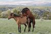 Mating Wild Horses (Equus caballus), Pryor Mountains