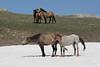 """Wild Horse (Equus caballus), Pryor Mountains """"Just Chillin"""""""