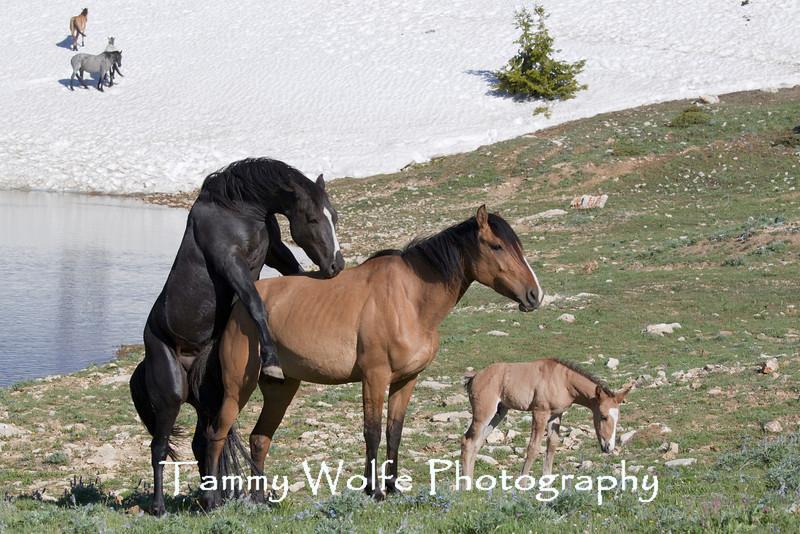 Wild Horse (Equus caballus) Mating Attempt, Pryor Mountains