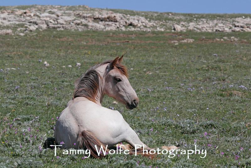 Resting Wild Horse (Equus caballus), Pryor Mountains