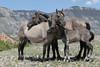 Wild Horse (Equus caballus), Huddled together, Pryor Mountains
