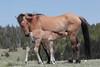 Wild Horse (Equus caballus), Mare with Nursing Foal; Pryor Mountains