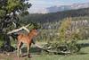 Wild Horse (Equus caballus) Colt, Pryor Mountains