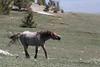 Wild Horse (Equus caballus) Lip Curling, Pryor Mountains