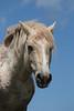 """""""Cloud"""" Wild Horse (Equus caballus), Pryor Mountains"""
