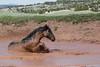 Wild Horse (Equus caballus) Bathing, Pryor Mountains