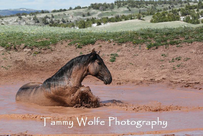 Wild Horse (Equus caballus)