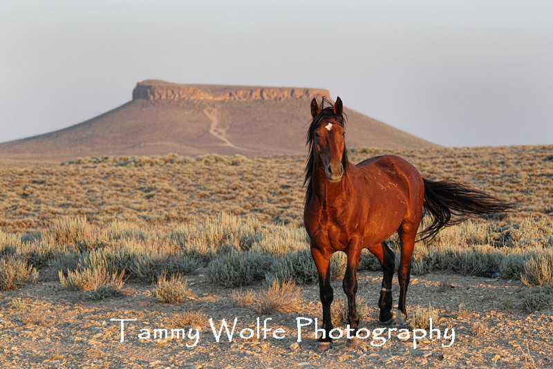 Feral (Wild) Horse, Rock Springs, Wyoming