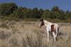 Free-Roaming Horse (Equus caballus), Stallion, Little Book Cliffs Wild Horse Range, Colorado