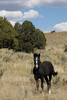Free-Roaming Horse (Equus caballus), Filly, Little Book Cliffs Wild Horse Range, Colorado