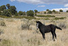 Free-Roaming Filly (Equus caballus), Little Book Cliffs Wild Horse Range, Colorado