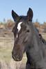 Free-Roaming Horse (Equus caballus), Filly Portrait,  Little Book Cliffs Wild Horse Range, Colorado